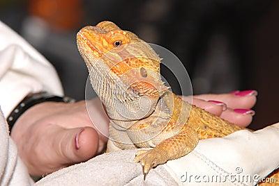 Frilled lizard on hand