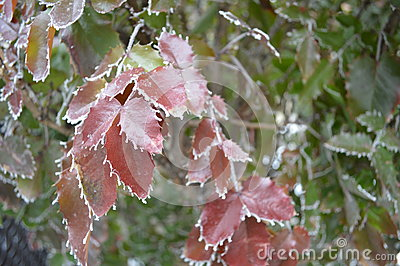 Fringe of frost on Oregon Grape leaves close up