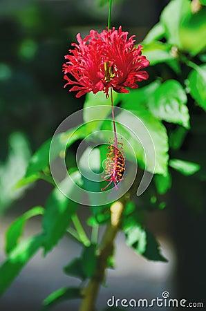 Fringed Hibiscus (Hibiscus Schizopetalus)