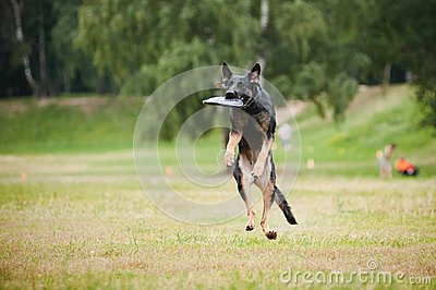 Frisbee black dog catching