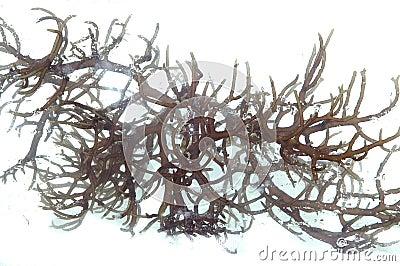 Frische dunkle braune Meerespflanze