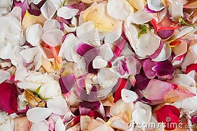 Frische Rosen-Blumenblätter