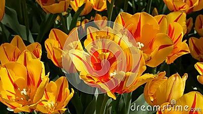Frische sch?ne gro?e ges?ttigte ungew?hnliche gelbe Tulpenblumen bl?hen im Fr?hjahr Garten Dekorative Tulpenblumenbl?te herein stock video