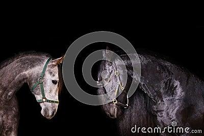 Frisian and arab stallions