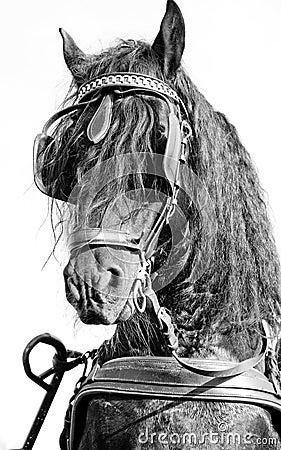 Frisian horse monochrome