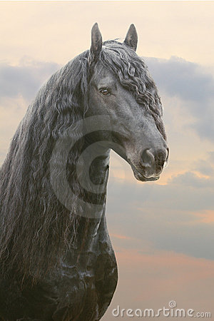 Frisian stallion isolated