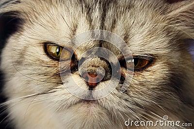 Frisky flat faced cat