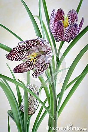 Fritillaria Meleagris - Checkered