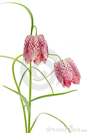 Fritillaria meleagris on white background