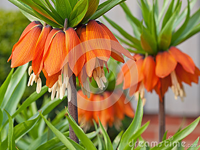 Fritillaries - Crown imperial
