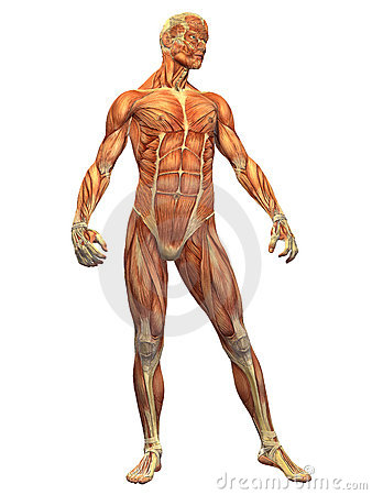 Främre mänsklig male muskel för huvuddel