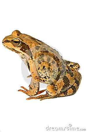 Free Frog Stock Photos - 10150593