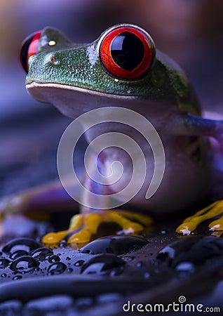 Free Frog Royalty Free Stock Photos - 2103598