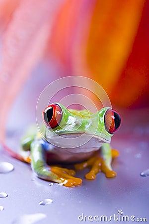 Free Frog Royalty Free Stock Image - 2316526
