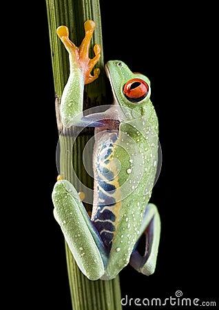 Free Frog Royalty Free Stock Image - 2395806