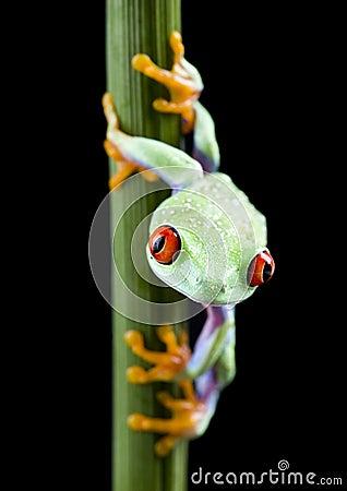 Free Frog Royalty Free Stock Photos - 2395878
