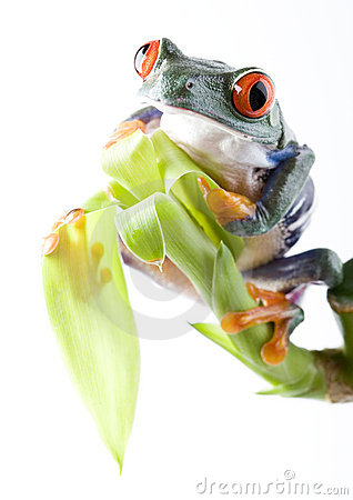 Free Frog Stock Photos - 2927393
