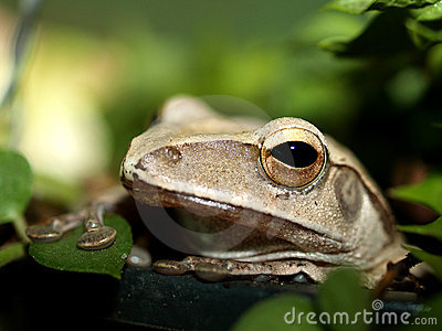 Frog  , amphibian