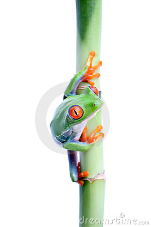 Frog on bamboo isolated