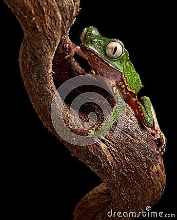 Frog with big eyes on branch of amazon tree