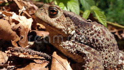 Frog - Common Toad (Bufo bufo) in the wild. Movie clip - Frog - Common Toad (Bufo bufo) in the wild stock footage