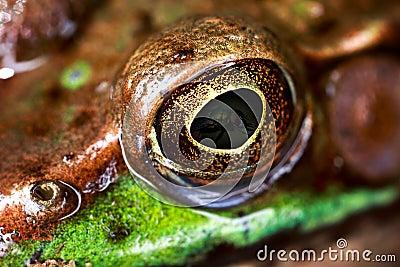 Frog Eye Macro
