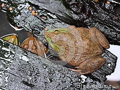 Frog in farm
