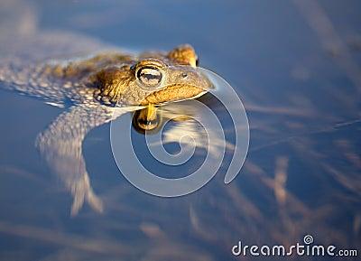 Frog floating in pond