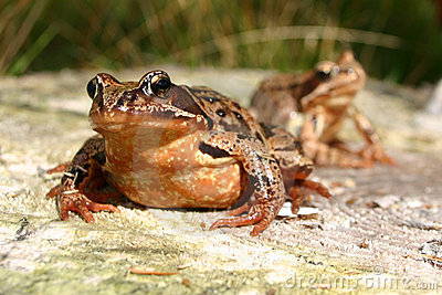 Frog And Frog Royalty Free Stock Photos - Image: 834168