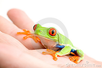 Frog in hand isolated on white