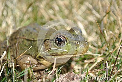 Frog Hiding In The Grass Royalty Free Stock Photo - Image: 13868735