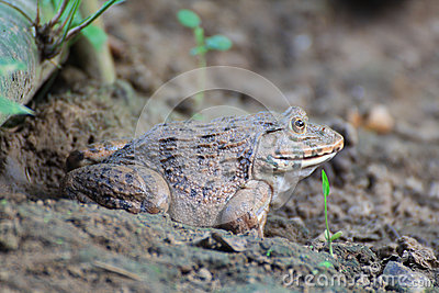 Frog(Hoplobatrachus rugulosus)