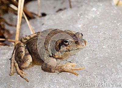 Frog on Ice 7