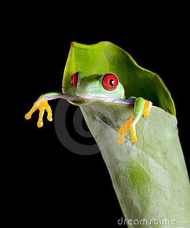 Free Frog In Banana Leaf Royalty Free Stock Images - 10015309