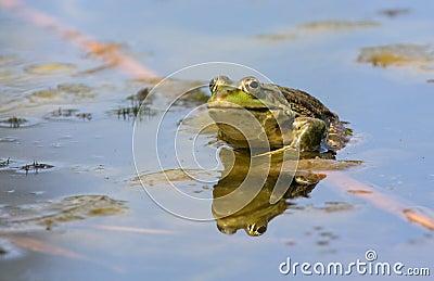 The frog lake