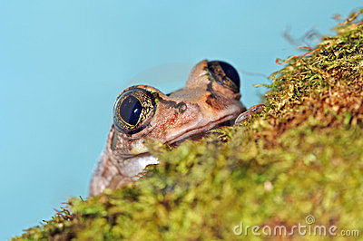 Frog with large eyes
