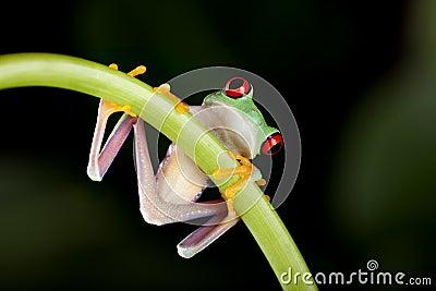 Frog on liane