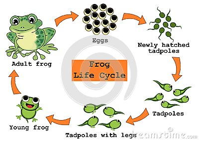 Frog Life Cycle Concept Cartoon Illustration