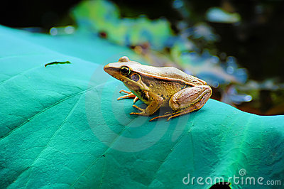 Frog on Lotus leaf