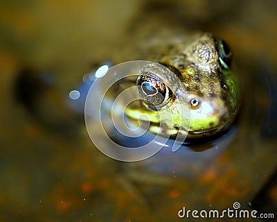 Frog Macro Eye Detail
