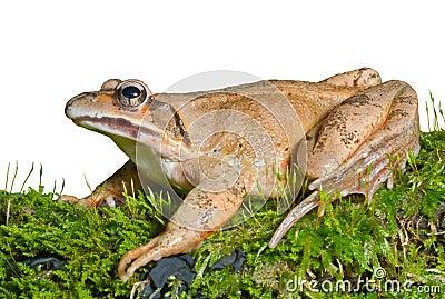 Frog on moss 13