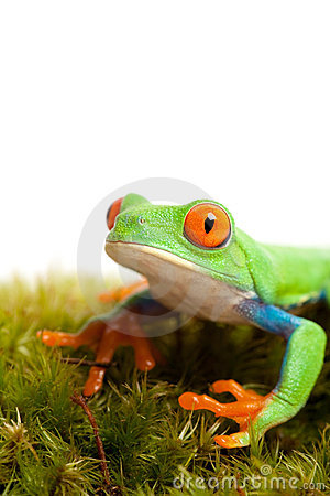 Frog on moss isolated white