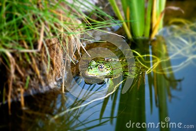 Frog in a natural environment