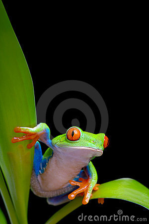 Free Frog On Plant Leaves Isolated Black Royalty Free Stock Images - 16010329