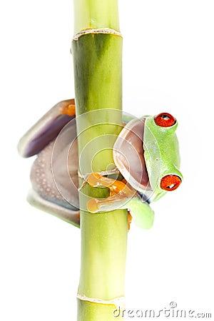 Free Frog On Tulip On Bamboo Stock Image - 13765021