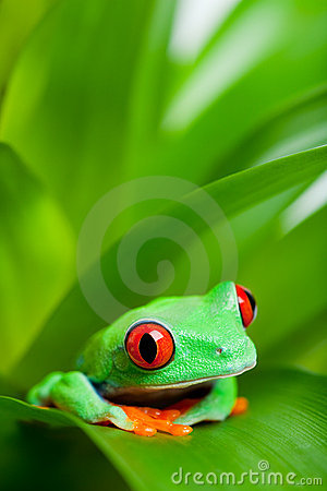 Frog in a plant - red-eyed tree frog