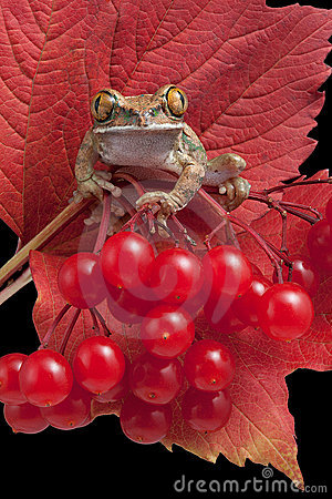 Frog on red berries