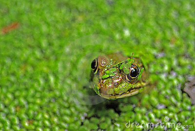 Frog s head in pond weed