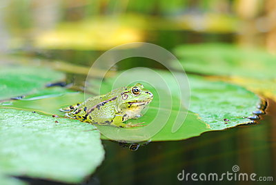 Frog sits on a green leaf