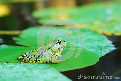Frog sits on a green leaf